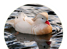 Pato Mandarim Branco