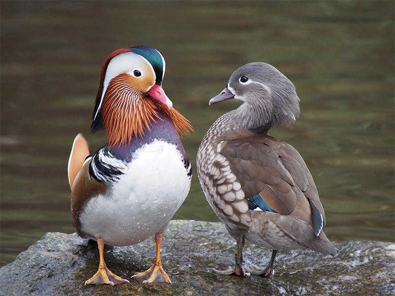 Resultado de imagem para Pato da espécie Mulard